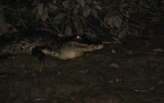 Krokodil im Urwald